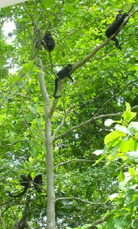Star Mountain Jungle Lodge : Howler Monkeys