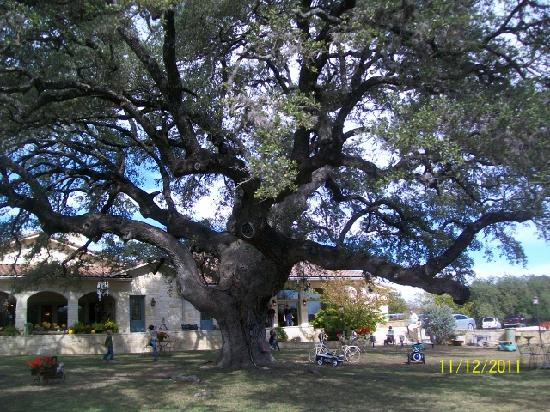 Laurel Tree Restaurant: The 450 year old live oak