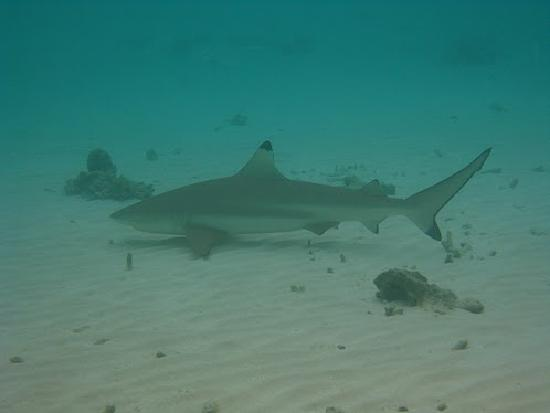 Angsana Ihuru, Maldives : reef shark