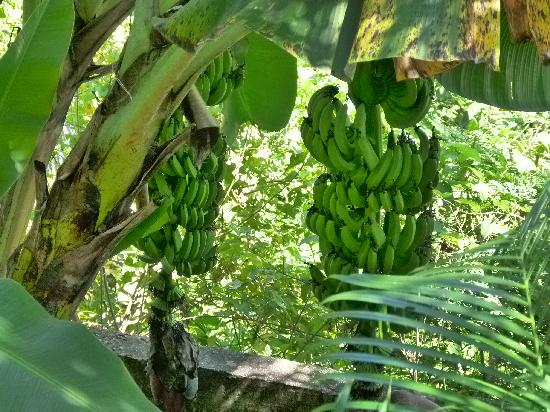 House of Wind and Water: Bananas in back yard