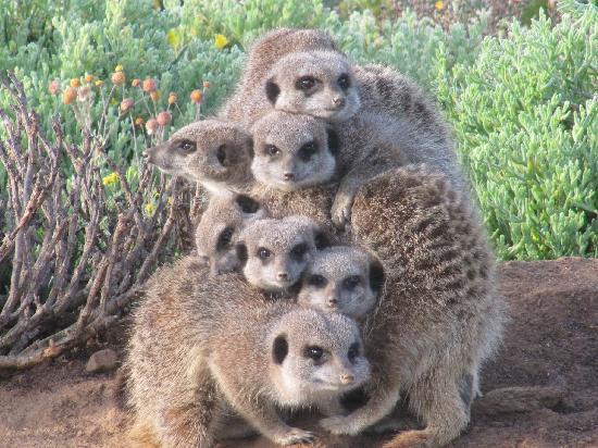 De Zeekoe Guest Farm: Cozy meerkats
