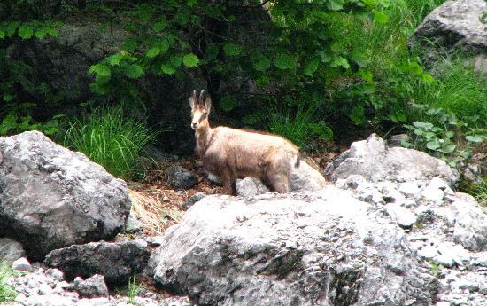 Nationalpark Berchtesgaden: reindeer
