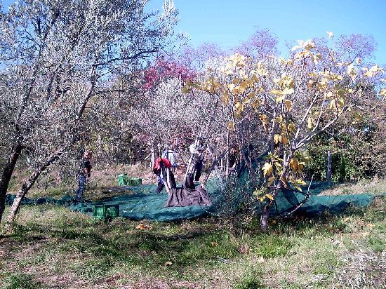 Ventena Vecchia - Antico Frantoio: die Ernte