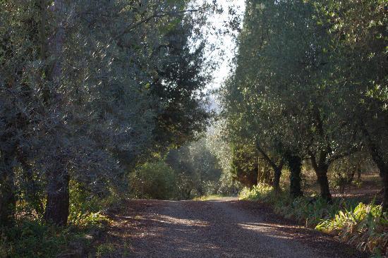 Fattoria Il Milione: Olive plantation