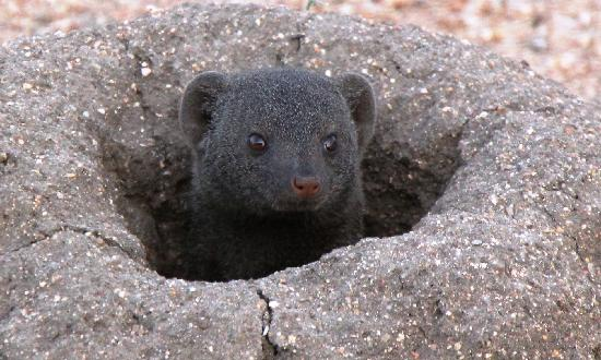 Kings Camp: Dwarf Mongoose