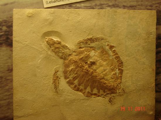 Civico Museo di Storia Naturale : fossile di tartaruga