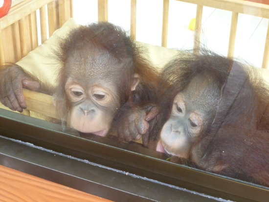 Tour & Incentive Travel : The baby orang utans
