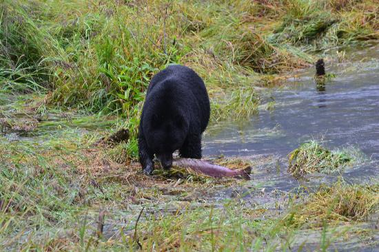 Harv and Marv's Outback Alaska: Black Bear eating a Salmon