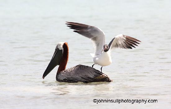 The Verandah Resort & Spa: Get Off My Back - Laughing Gull & Brown Pelican