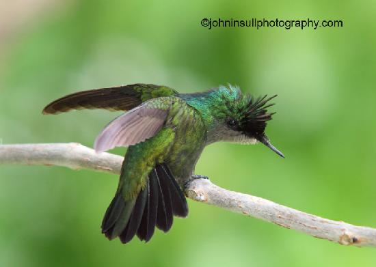 The Verandah Resort & Spa: Antllean Crested Hummingbird Ready to Fly