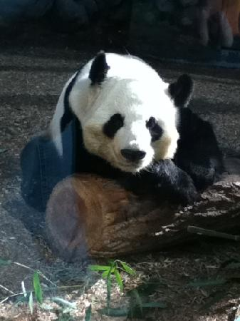 Zoo Atlanta: mr. panda was posing!