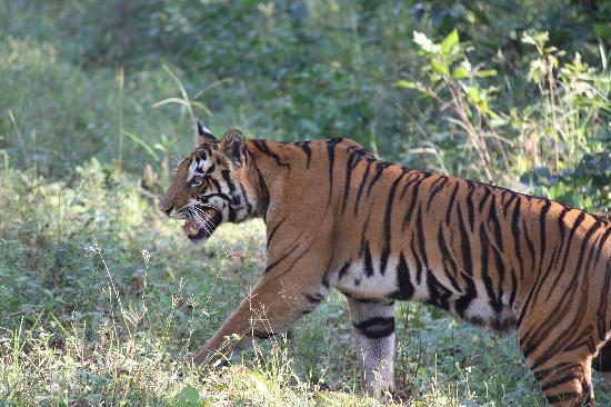 Chitvan Jungle Lodge: Mr Stripes