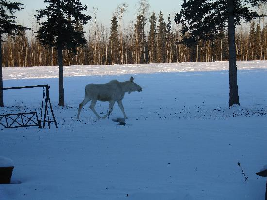 Garden Bed & Breakfast: one of our favorite guests, a rare white moose
