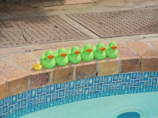 Blackheath Lodge: Ducks at the pool