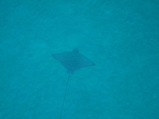 The Ocean Project On Maui: spotted eagle ray