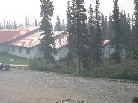 Motel Nord Haven Aurora Denali Lodge : Looking out our hotel window, see the momma and baby moose?
