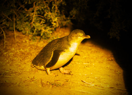 Low Head, Australia: Fairy penguin checking us out