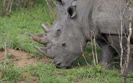 Kuname Lodge: White rhino. Just one of the abundant species of animals to be found in the Karongwe Game Reserv