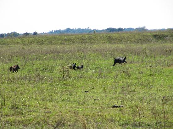 KICCO Wildlife Management Area : scared up a family of wild pigs