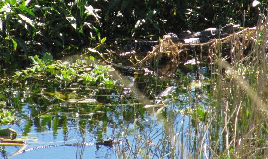 KICCO Wildlife Management Area : there are (at least) 7 baby gators in the picture