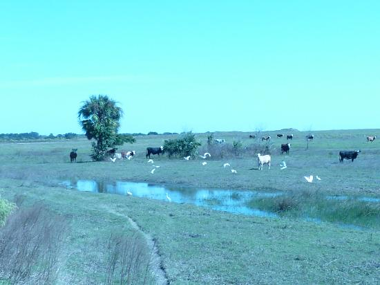 KICCO Wildlife Management Area : lots of cattle around as well