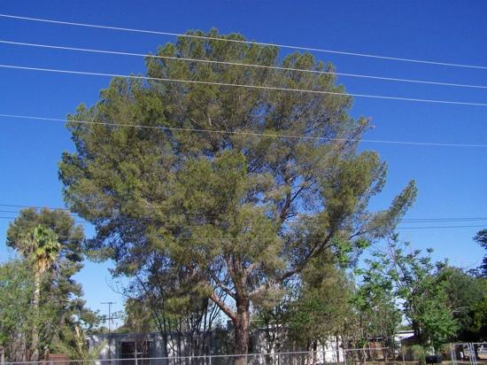 Snowflake, AZ: cedars in the upper desert.