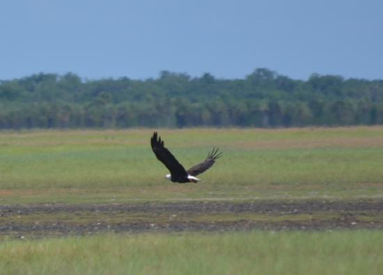 Central Florida Airboat Tours: Bald Eagle - St. John's River