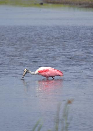 Central Florida Airboat Tours: Rosetta Spoonbill - St. John's River