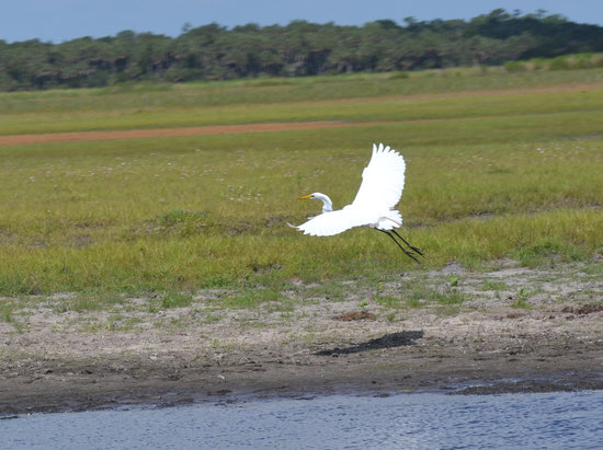 Geneva, FL: Great White Egret - St. John's River