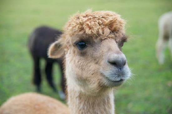 Common Leys Farm: Friendly alpacas