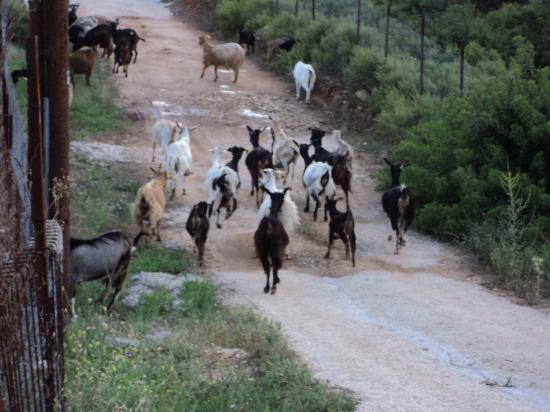 Moonbeam Hotel: goats having a stroll!!