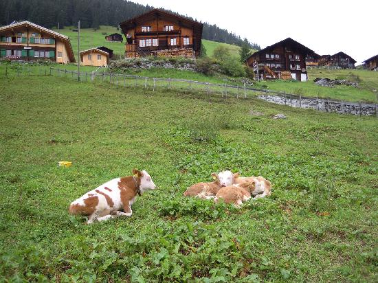 Esther's Guesthouse: Local cows