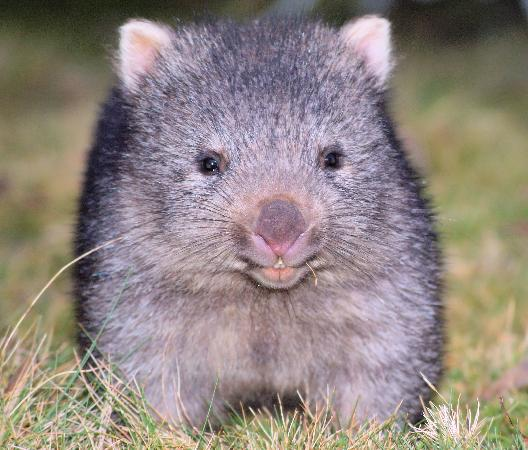 Cradle Mountain Highlanders Cottages: Our resident baby wombat