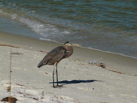 Gulf Islands National Seashore - Florida District: Heron
