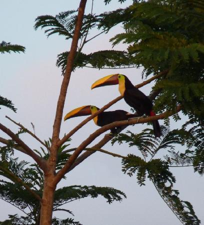 Coco Lindo: Couple de toucans à Ojochal