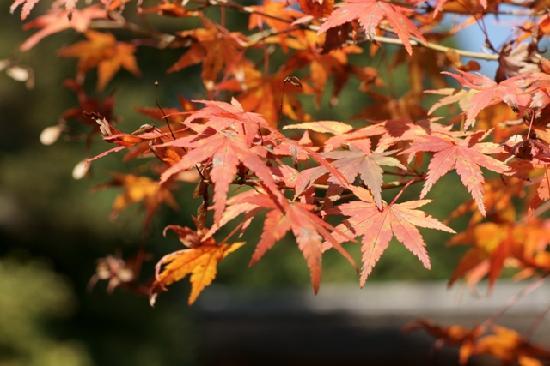 Jingoji Temple: 美しい紅葉