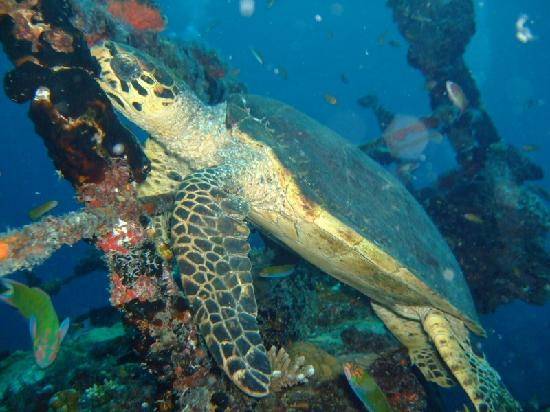 Centara Grand Island: turtle on the wreck