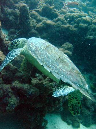 Centara Grand Island Resort & Spa Maldives: turtle.