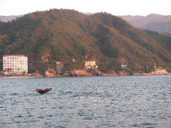 Hyatt Ziva Puerto Vallarta: Baleine en face de l'hôtel pendant ''Rhythm of the Night''