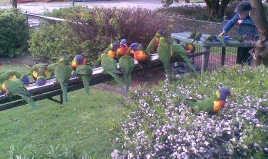 Feeding Wild Rainbow Lorrikeets: Feeding the Lorrikeets
