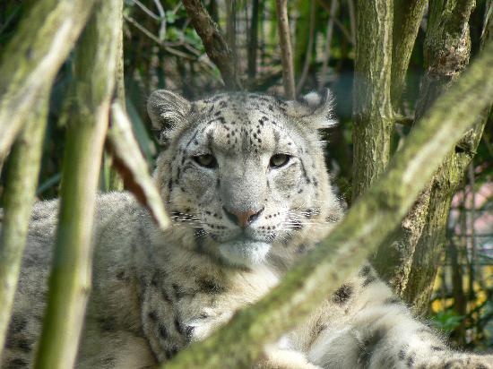 Linton, UK: Smile for the camera now mr Snow leopard