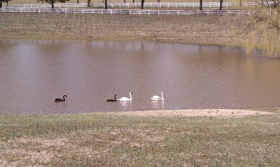 Keswick Vineyards: Lovely swans & geese to enjoy there!