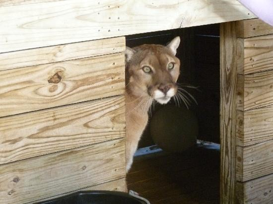 Panther Ridge Conservation Center: Cougar