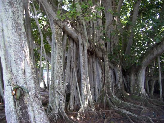 Edison & Ford Winter Estates: Banyan tree