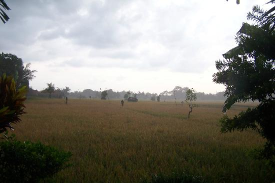 Tegal Sari: rice paddy view