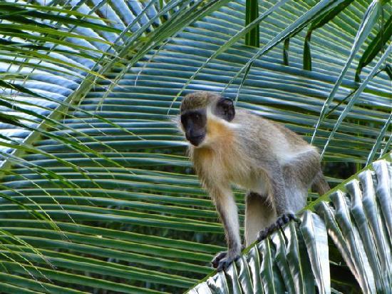Travellers Palm: A neighbourhood green monkey