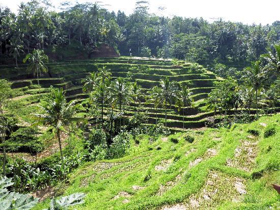 Bali On Bike: The rice paddies