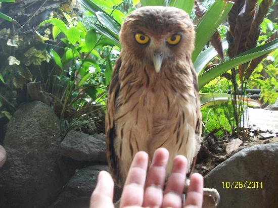 Pasig, Filipiny: owl
