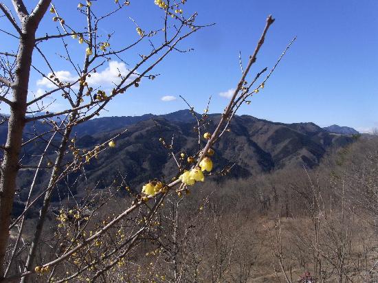 Nagatoro-machi, Japan: 山頂からの景色・蝋梅と周囲の山