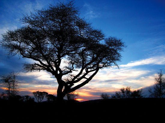 Mosetlha Bush Camp & Eco Lodge: The Mosetlha tree around which the camp is built
